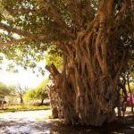 Derakht-e-Sabz (Green Tree)