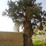 Cypress Dasht-e Lar