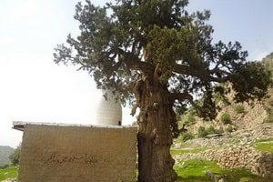Cypress Dasht-e Lār