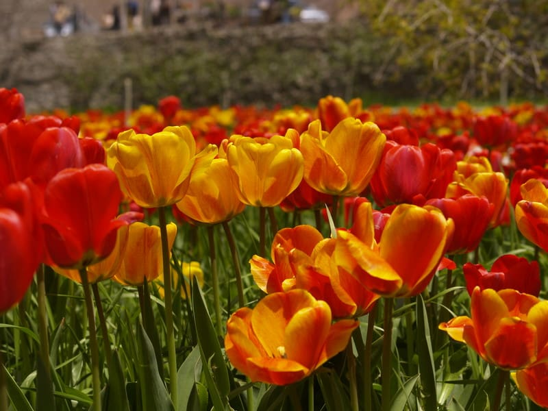 Сад тюльпанів Gachsar