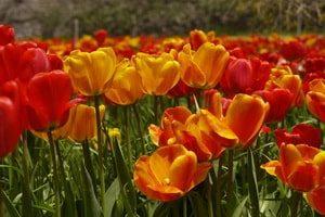 Gachsar tulipanska bašta